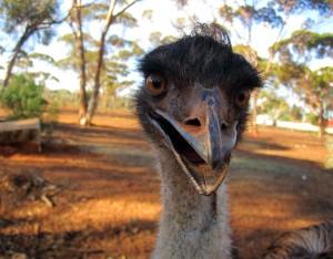 Die häßlichsten Vögel der Welt: Emus in Australien