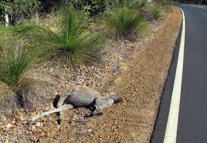 Ein schlafendes Känguru am Straßenrand in Australien