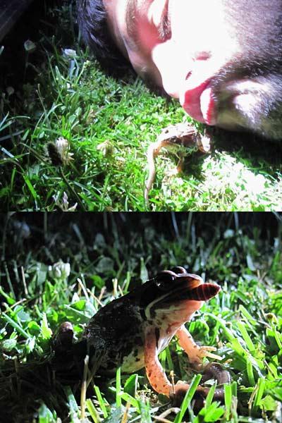 Masuren Frosch Küssen