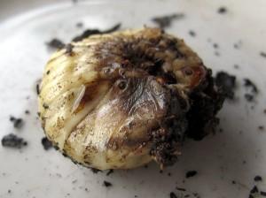 Raupen essen auf der Weltreise in Indonesien